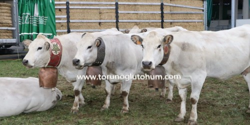 Piemontese Boğa Sperması Satışı